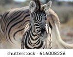 Stock photo curious baby zebra 616008236