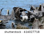 a group of brown pelicans... | Shutterstock . vector #616027718
