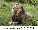 Lion Sitting Proud
