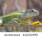iguana basks in the rays of the ... | Shutterstock . vector #616102490