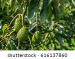 Growing Avocado On The Tree