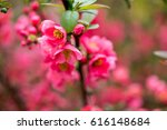 cherry blossom in spring for... | Shutterstock . vector #616148684