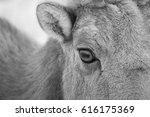 close up bighorn sheep black...