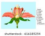 vector flower parts diagram.... | Shutterstock .eps vector #616185254