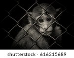 The Monkey In Cage Is...