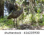 a limpkin stands in a grass... | Shutterstock . vector #616235930