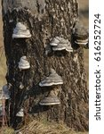 Small photo of Bark of birch tree covered with conk fungi, Fomes fomentarius