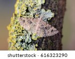 Small photo of Twenty-plume Moth, Alucita hexadactyla at rest on a twig covered in Xanthoria parietina lichen.