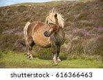 Shetland Pony Living Wild In...