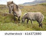 Shetland Ponies Eating Grass I...