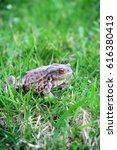 Common Toad Bufo Bufo Animal