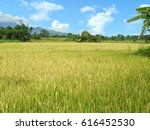 A Photo Of Golden Rice Field I...