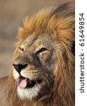 Male lion yawning, Serengeti, Tanzania - stock photo