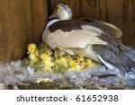 A Muscovy Duck On A Nest With...