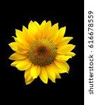 Sun Flower On Black Background.