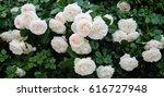 climbing beautiful roses | Shutterstock . vector #616727948