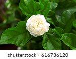 jasmine and bloom green | Shutterstock . vector #616736120