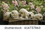 Little Golden Retriever Puppie...