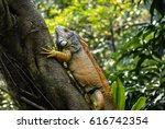 Iguana Sitting On The Tree In...