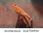 a ginger tom cat patrolling his ... | Shutterstock . vector #616754954