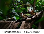 Small photo of Collared Babbler in Thailand
