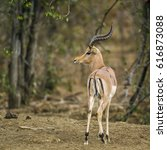 Small photo of Common impala in Kruger national park, South Africa ; Specie Aepyceros melampus family of Bovidae