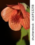 Small photo of Abutilon Flower