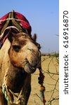 Camel Safary Eating