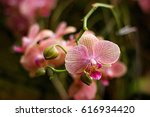 beautiful blooming orchid in... | Shutterstock . vector #616934420