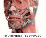 human anatomy face  jaw eyes ... | Shutterstock . vector #616949180