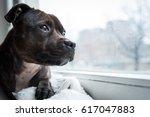 english staffordshire bull...   Shutterstock . vector #617047883