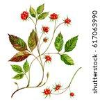berries are bones. medicinal...   Shutterstock . vector #617063990