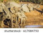 african bush elephant in kruger ... | Shutterstock . vector #617084753