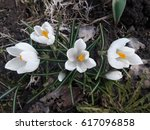 White Crocus Flowers. View Fro...