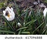 Crocus Flower With Bumblebee.