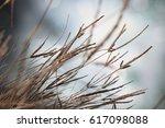 closeup of dry flowering grass...   Shutterstock . vector #617098088