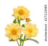 Bouquet Of Dahlia Flowers...
