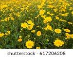 Yellow Daisy Flowers Field...
