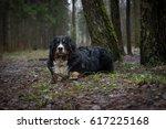 bernese mountain dog lying in... | Shutterstock . vector #617225168