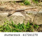 close up shot of slow worm ... | Shutterstock . vector #617261270