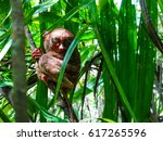 one of the smallest primate in... | Shutterstock . vector #617265596