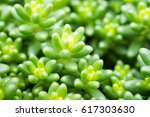 Succulents   Sedum Album