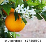 valencian orange and orange... | Shutterstock . vector #617305976