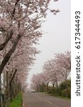 Small photo of cherry in bloom on either side of the road, Jeju island