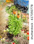 Orange Crown Imperial Lily...
