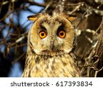 Long Eared Owl  Asio Otus