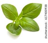 sweet basil herb leaves... | Shutterstock . vector #617400938