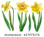 Watercolor Set Of Daffodils ...
