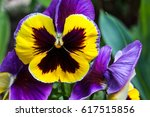 Yellow Purple Pansy Flowers ...