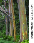 Rainbow Eucalyptus Tree On The...